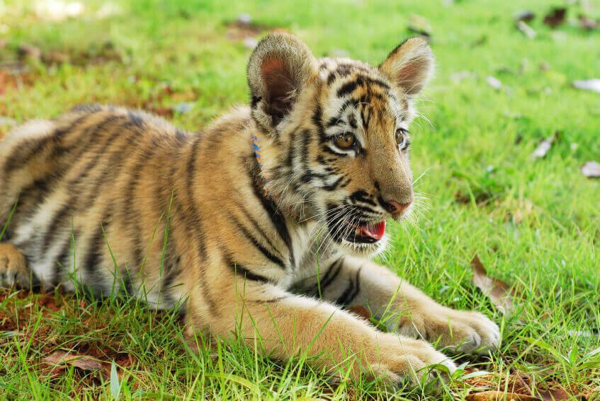 Tiger Cub on Grass