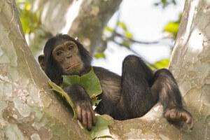 Bebê chimpanzé