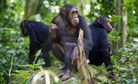 Why You Won't See Chimpanzees in Any Super Bowl Ads