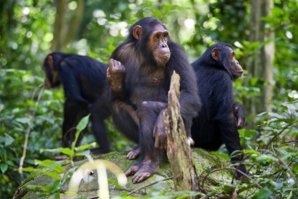 Three Adult Chimpanzees