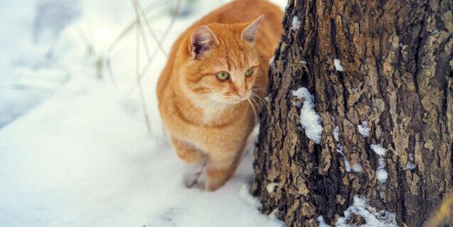 Orange Cat Walks in Snow