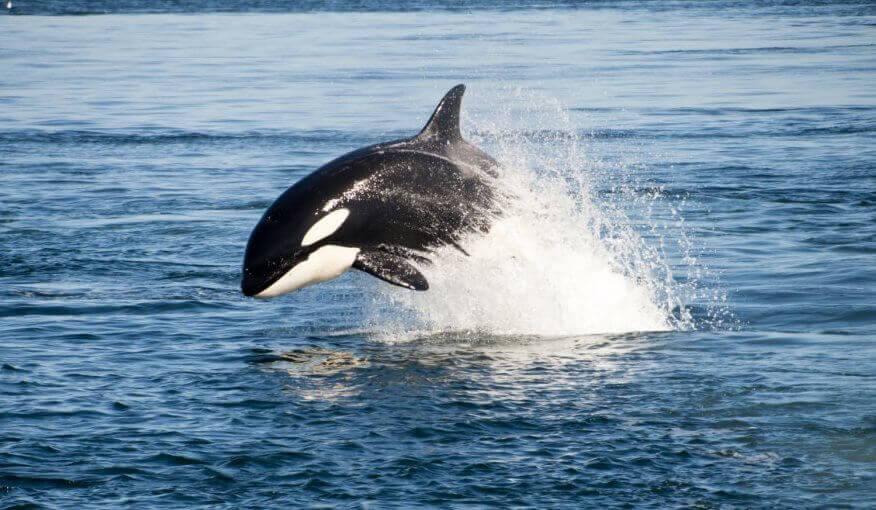 Orca Leaping in Bay