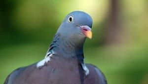 Urge Las Vegas Senior Residence to End Pigeon Trapping!
