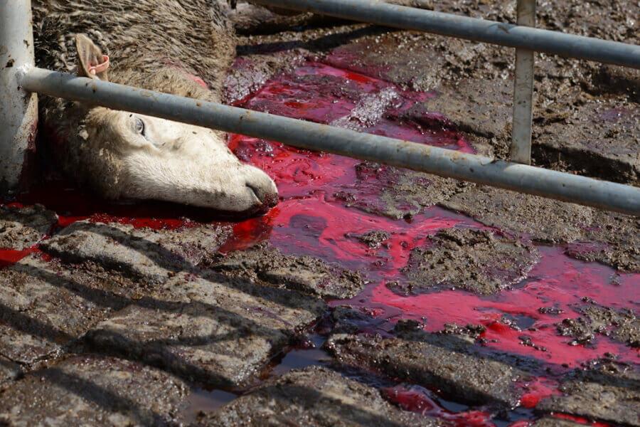Bleeding Sheep