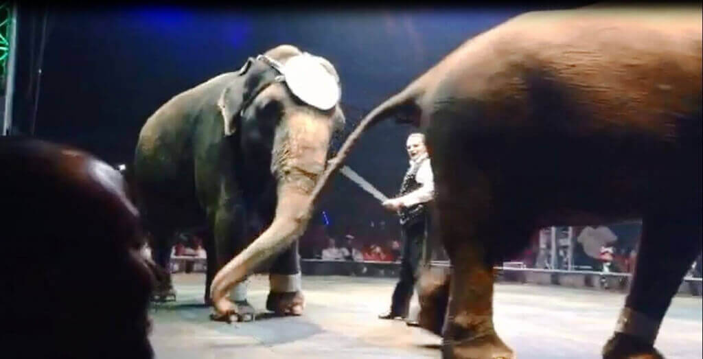 A trainer hired by the UniverSoul Circus brandishes a bullhook.