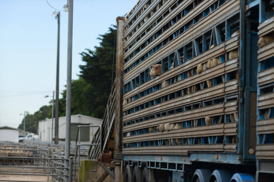Sheep on Transport Truck