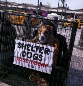 Shelter Dog Westminster purebred