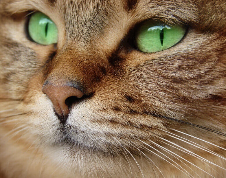 Close-Up of Cat With Green Eyes