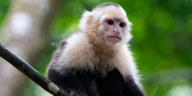 Capuchin Monkey in Rain Forest