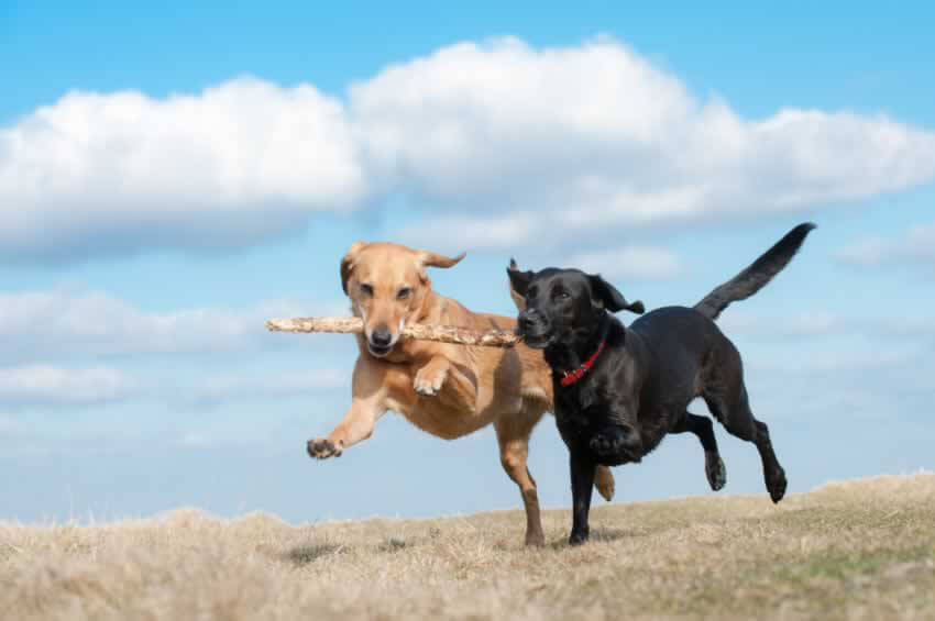 Two Dogs Running With Stick