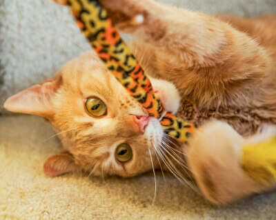 Playful Ginger Cat Biting Cat Toy