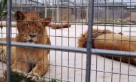 Zoo Officials Reportedly Shot Two Lions After Naked Man Leapt Into Cage