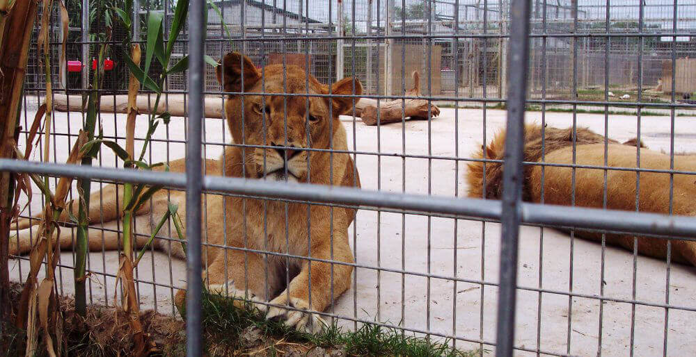 Lions in Cage at the Garold Wayne Interactive Zoological Park (GW Zoo)