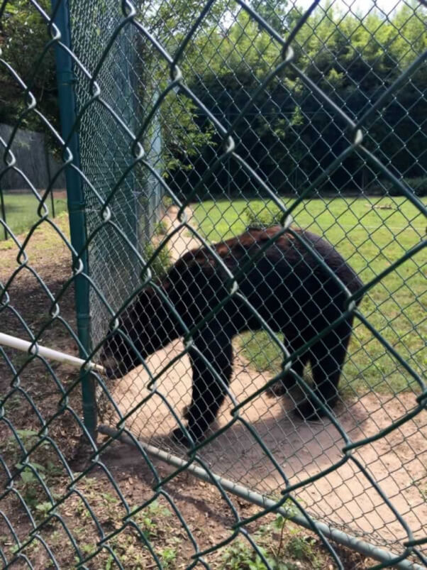 13-thin-looking black bear with poor molt