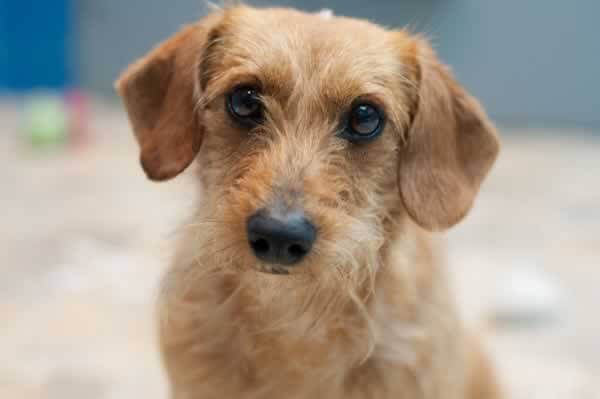 Alfalfa, Dog Rescued by PETA and Available for Adoption