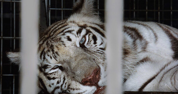 Caged-White-Tiger