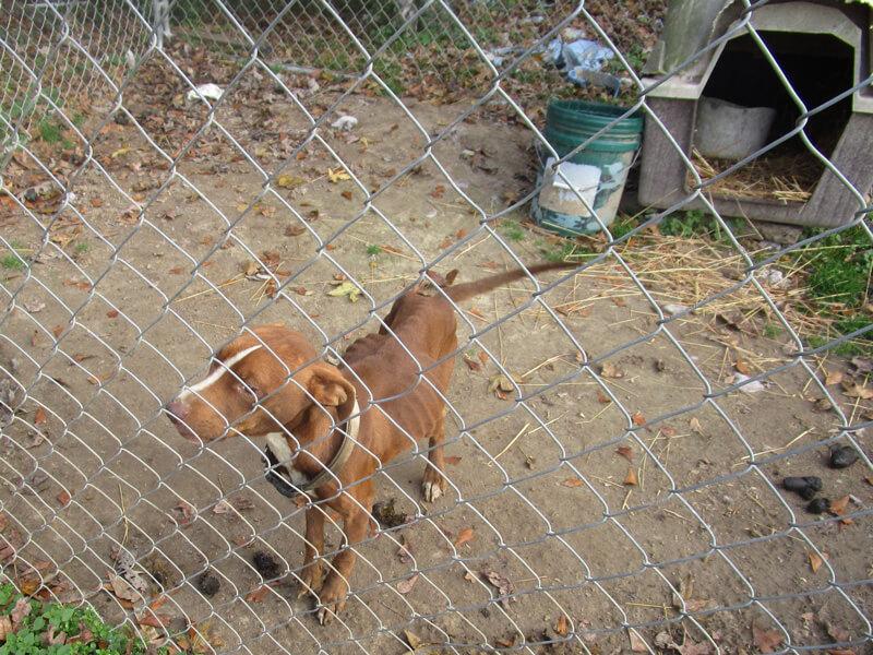 Emaciated Backyard Dog