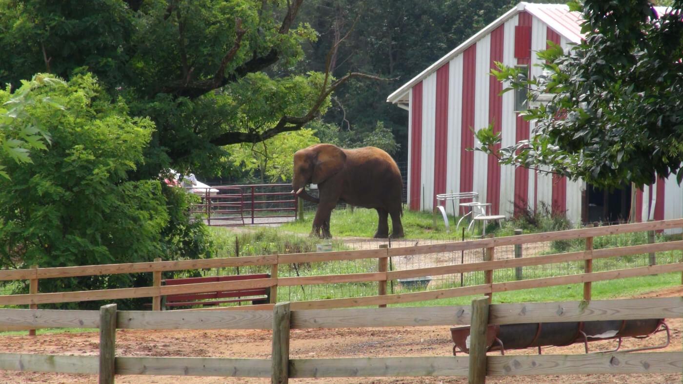 lone elephant natural bridge zoo