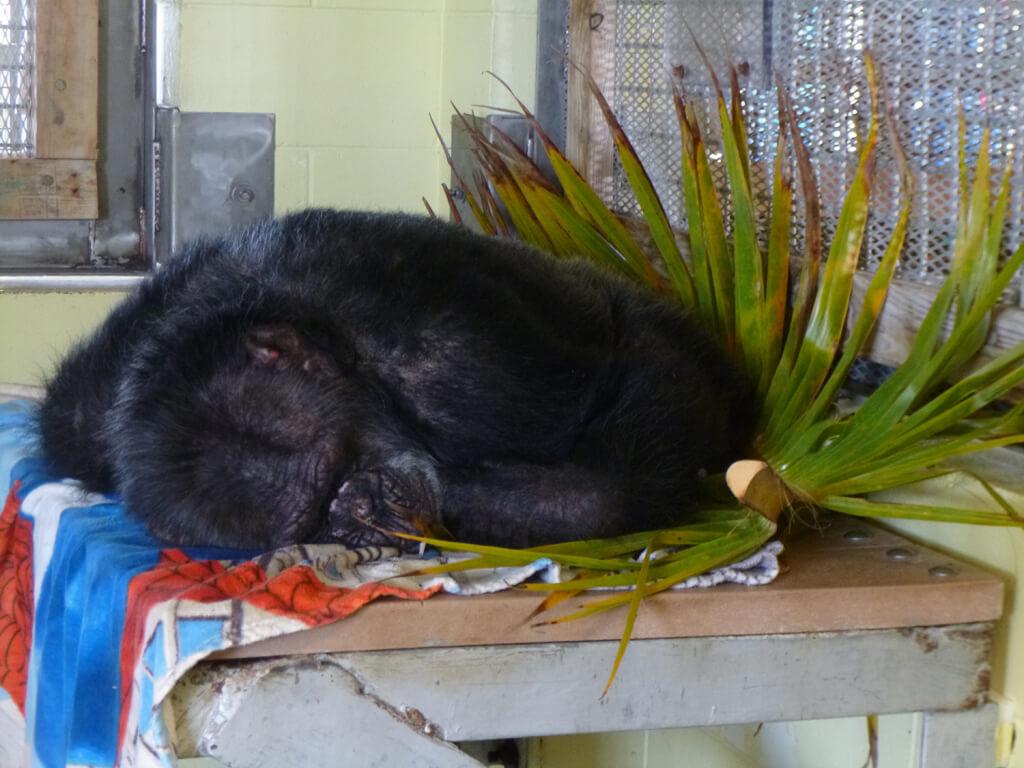 Iris Sleeping Chimpanzee resche