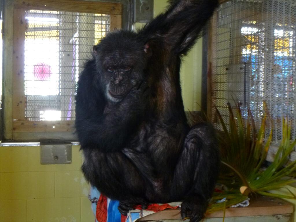 Iris chimpanzee rescue