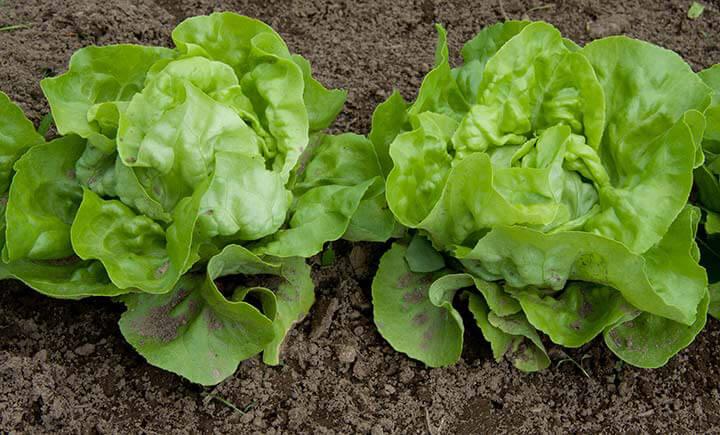 Leaf-Lettuce