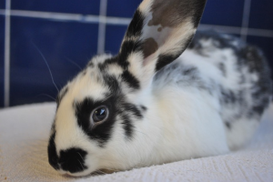 Prudence bunny rabbit rescue