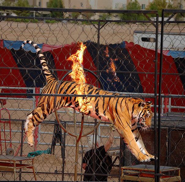 Tiger Leaps Fire Hoop