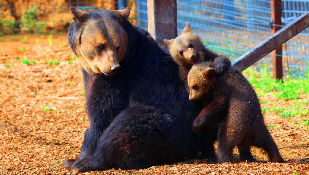 Ursula and cubs bear rescue