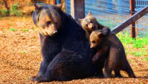 Ursula e filhotes de urso de resgate