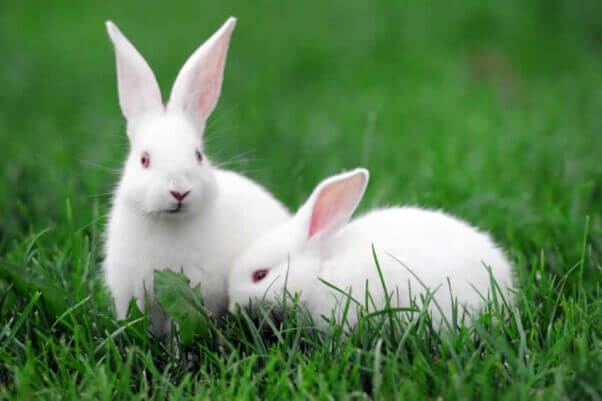 Two White Rabbits in Grass