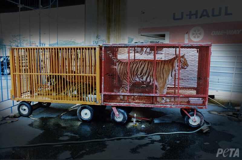 Caged Tigers in Caravan