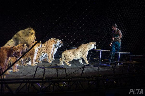 big cats suffer in the circus - here's how