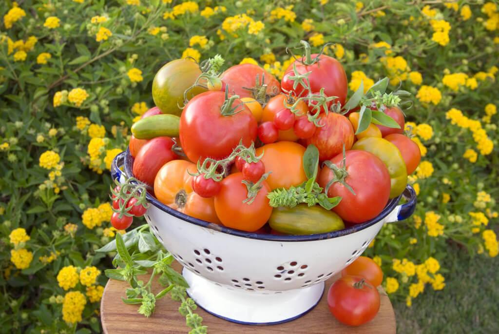 Colorful vegetable garden tomato