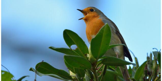 European Songbird