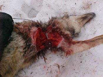 canada goose feathers cruelty