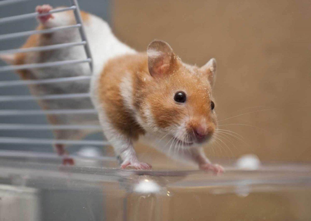 Med School Kills Hamsters in 'Social Defeat' Test | PETA