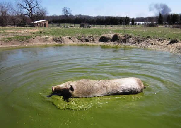 Rescued Pig sunbathes in Pond