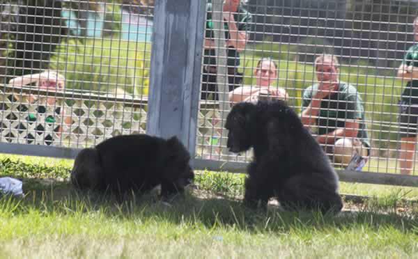 Rescued Chimpanzee Iris Meets Her New Friend Pam