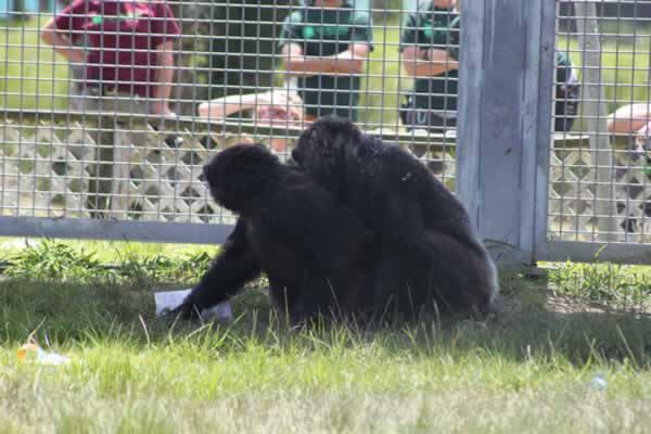 Rescued Chimpanzee Iris Hugs Her New Friend Pam