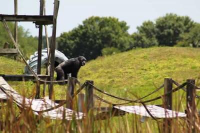 Rescued Chimpanzee Iris Explores Her New Island Home