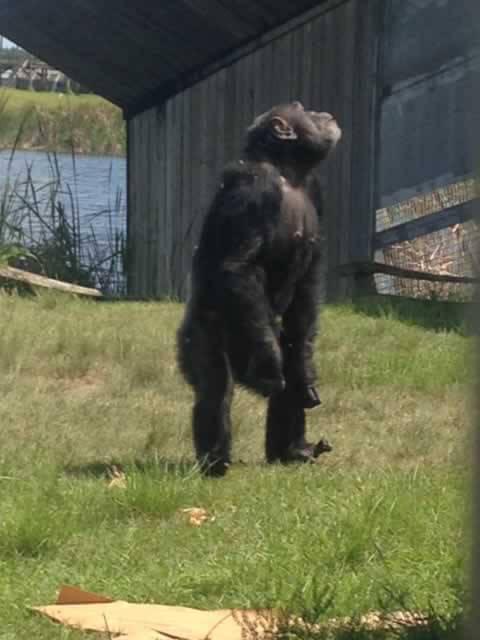 Rescued Chimpanzee Iris Explores Her New Home