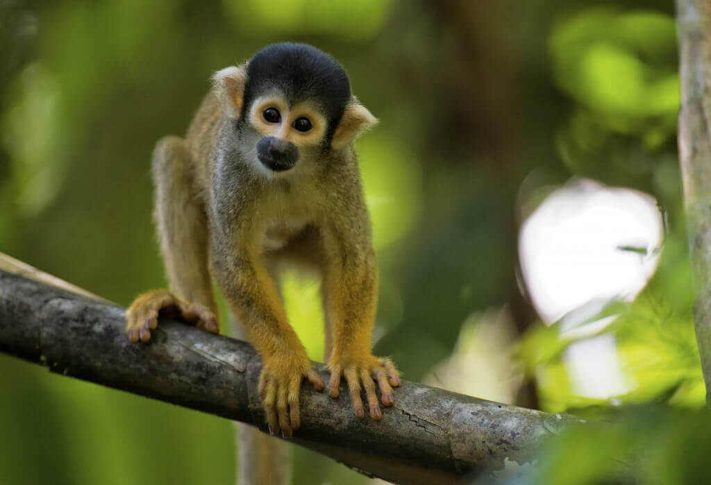 Squirrel Monkey baby monkey
