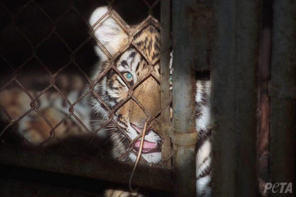 big cats in circus shows suffer - here's how