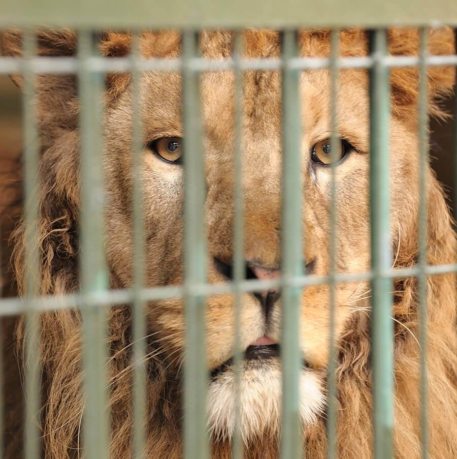 caged-lion-iStock