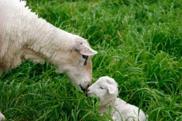Sheep Nuzzles Lamb