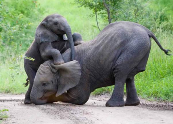 AZA bullhook ban progress for captive elephants