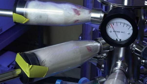 Rats squeezed into inhalation tubes