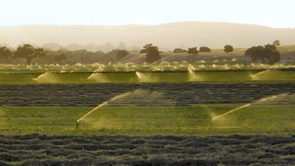 Alfalfa fields under irrigation