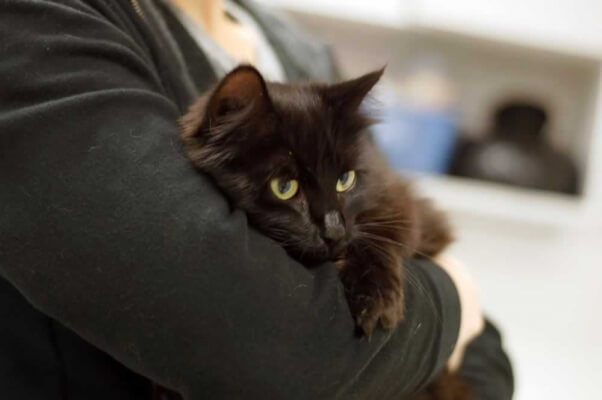 America, a black cat available for adoption