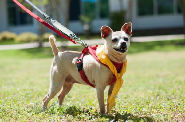 Daisy, a Chihuahua available for adoption